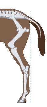Horse Hind Leg Conformation Correct